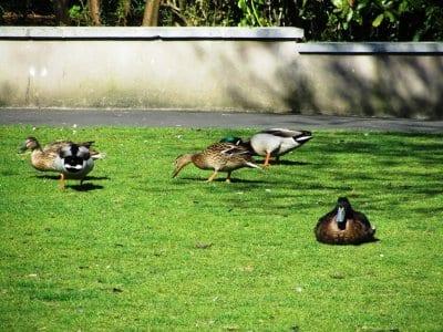 Ducks at Cleveleys duck pond
